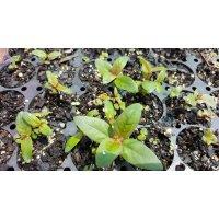 Eucalyptus Seedlings