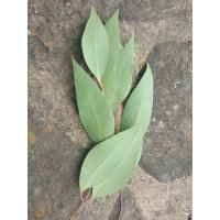 Rosewood Broad Leaf Peppermint (Dives) Eucalyptus Plantation