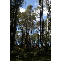 Eucalyptus Oil Harvesting