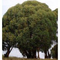 Habitat Trees & Bio-diversity within the Eucalyptus Harvest/Regrowth Areas